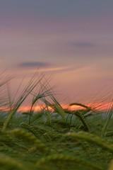 trough the barley (petr19710) Tags: kilkenny ireland sea sky favorite irish seascape nature landscape landscapes seascapes minolta sony sigma olympus scape scapes petrpetr