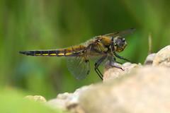 Libellula quadrimaculata (LisaOlsson) Tags: dragonfly chaser odonata fourspottedchaser libellulaquadrimaculata trollslnda fyrflckadtrollslnda