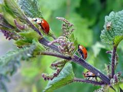3 Glckskfer (mama knipst!) Tags: natur ladybug marienkfer