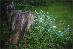 IMG_1515 (Moon...) Tags: flowers russia stump   moskovskayaoblast