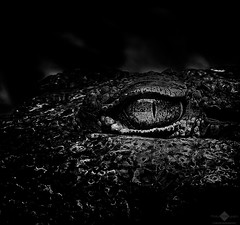 Smaug (BW) (chmeermann | www.chm-photography.com) Tags: portrait bw eye monochrome animal tiere blackwhite google aperture nikon flickr natur portrt crocodile sw nikkor lowkey auge tier krokodil 70300 colorkeying schwarzweis querformat d7100 silverefexpro2 colorefexpro4 christianttv