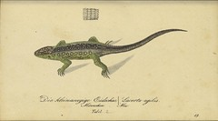 n24_w1150 (BioDivLibrary) Tags: amphibians germany pictorialworks usdepartmentofagriculturenationalagriculturallibrary bhl:page=50886207 dc:identifier=httpbiodiversitylibraryorgpage50886207 taxonomy:genus=lacerta