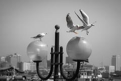 My turn! (Yannis Raf) Tags: seagulls dubai uae almostmonochrome selectivecolour canonixus75 birds