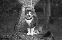 El guardin del parque // Park guardian (Cazadora de Fotos) Tags: gato cat gris blanco negro mirada miradas looking animales mascotas pueblo
