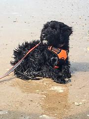 Beach Gabby 02 (crisp4dogs) Tags: gabby pwd portuguesewaterdog puppy crisp4dogs acrisp beach water nc topsailbeach