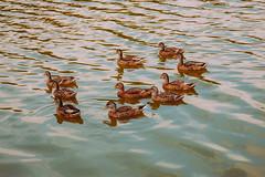 arrowhead lake. july 2016 (timp37) Tags: summer july 2016 illinois arrowhead lake palos heights duck ducks