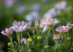 Daisies (mclcbooks) Tags: flower flowers floral daisy daisies denverbotanicgardens colorado