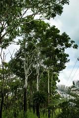 Australian Bush (betadecay2000) Tags: beta livistona humilis palme palm palmtree tree baum bäume busch bush australia australien austral australie australian top end savanne regenzeit pflanze grün green pflanzen plant flower bloem fleur outdoor