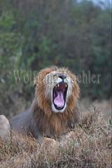 10077908 (wolfgangkaehler) Tags: 2016africa african eastafrica eastafrican kenya kenyan masaimara masaimarakenya masaimaranationalreserve wildlife mammal bigcat predator predatory bigfive lions lionpantheraleo rain rainy raining rainstorm wet maleanimal malelion yawn yawning sleepy