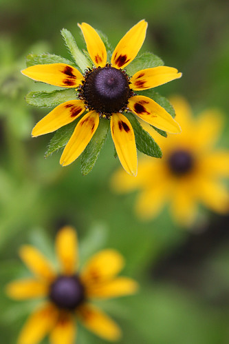 rudbeckia thingy