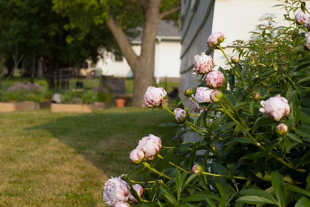 peonies bursting