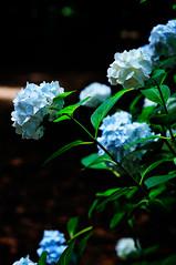 [フリー画像] 花・植物, 紫陽花・アジサイ, 201106231700