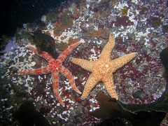 "Seastars • <a style=""font-size:0.8em;"" href=""http://www.flickr.com/photos/76145908@N08/6938982942/"" target=""_blank"">View on Flickr</a>"