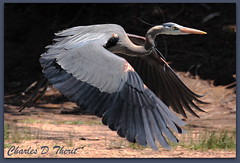 Great Blue Heron (ctofcsco) Tags: canon 50d 400mm coloradosprings colorado unitedstates usa allofnatureswildlifelevel1 allofnatureswildlifelevel2 allofnatureswildlifelevel3 allofnatureswildlifelevel4 allofnatureswildlifelevel5 allofnatureswildlifelevel6 allofnatureswildlifelevel7 allofnatureswildlifelevel8 ringexcellence allofnatureswildlifelevel9 explore springs united states co ef400mm f28l ii usm ef400mmf28liiusm america northamerica telephoto bokeh best wonderful perfect fabulous great photo pic picture image photograph