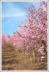 peach blossom (auweiakaka) Tags: rose vineyard spring blossom peach rosa blüte springtime mosel frühling weinberg blüten moselle peachblossom pfirsich pfirsichblüte weinbergspfirsich roterweinbergspfirsich