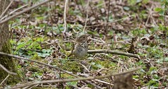 Hermit Thrush in the brush (praja38) Tags: life wood trees wild ontario canada bird nature grass moss sticks wings eyes woods wildlife branches wing beak feathers feather canadian brush spots whitby trunk thrush capricorn hermitthrush thicksonswoods