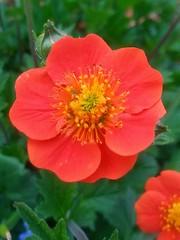 Around the house (tquist24) Tags: flowers flower garden geotagged backyard samsung indiana elkhart samsunggalaxys3