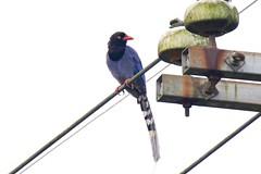 台灣藍鵲 Photo