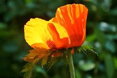 Glowing (ivlys) Tags: flowers nature sunshine germany deutschland spring blumen poppy glowing darmstadt frühling sonnenschein mohnblume minigarden ivlys