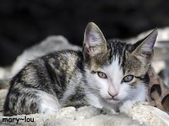 _DSC2539 (mary~lou) Tags: baby cute animal cat furry nikon kitten sweet small greece stray maryfletcher 15challengeswinner mary~lou