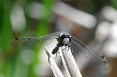 Whiteface Hello (Doundounba) Tags: closeup insect montréal pentax québec damselfly odonata 272e kiron îlebizard leucorrhiniaintacta dottailedwhiteface k01 mc7 parcnatureduboisdelîlebizard tamronspdi90mmf28 leucorrhinemouchetée