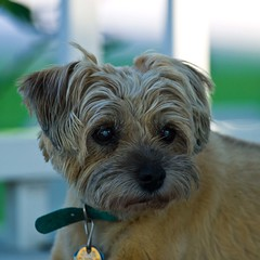 Mighty Muff (ramseybuckeye) Tags: life art pentax border terrier mighty muff k30 da300