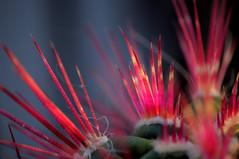 Spine (ironmember) Tags: spine aculei trasparenze cactus cactacee pianta bokeh sfocato pdc profonditdicampo dettaglio sharp sharpness raw macro micro 85mm micronikkor85mm nikon d90 nikond90 manolibera luceambiente lucesolare pomeriggio allaperto sulbalcone natura meraviglia contrasti picasa madei
