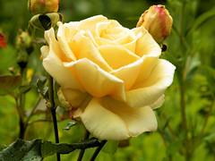 Gele roos (wemale) Tags: flower garden olympus om e500 43adapter omlenses rumariuw