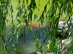 Koi Pond (vickilw) Tags: koi pond green leaves photographyforrecreation mygearandme