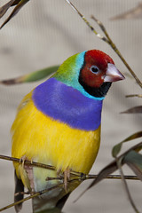 Finch Close Up (Larry Flynn) Tags: blue red pet cute green bird feet nature beautiful yellow colorful alone quiet natural small beak feathers finch perch multicolored simple quick poised active singular spritely gouldianfinch erythruragouldiae chloebiagouldiae colorrich