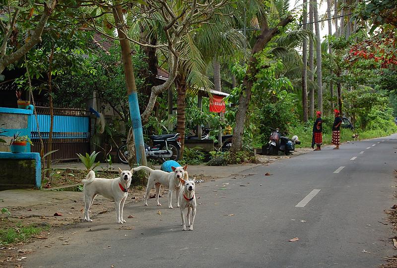 _Bali_dogs_