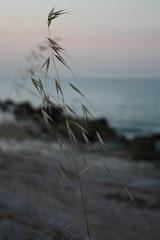Spiga - Tramonto (Cifra Web Master) Tags: sunset sea macro canon seaside rocks italia tramonto mare foto cielo ear spiaggia marche clearwater oceansunset scogli cifra panoramicview spiga sfumature acquacristallina sunsetsun delicatezza marepulito flickraward maretramonto cifrawebmaster