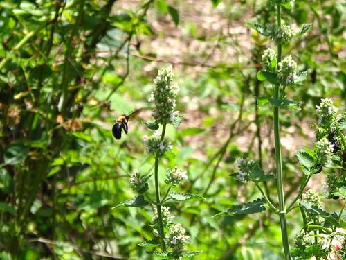 bee and catnip