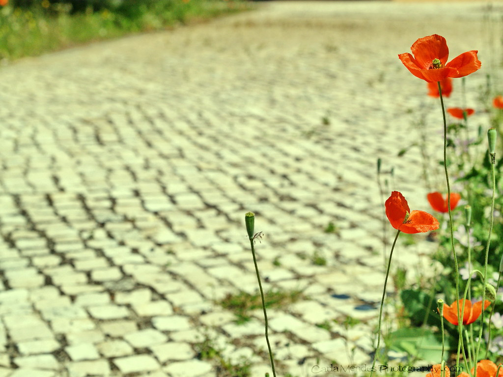 Path of poppies