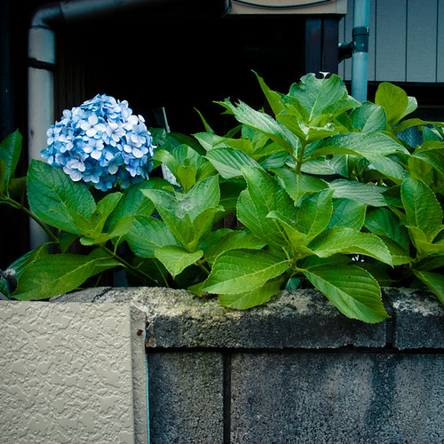 Hydrangea Poking Over Wall