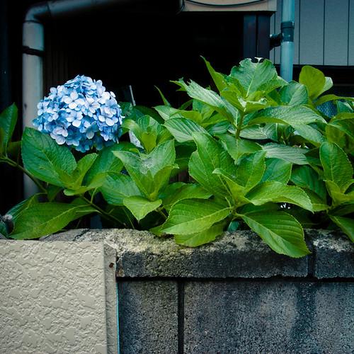 Hydrangea Poking Over Wall