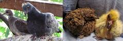 rescue birds babies pigeon dove wildlife rehabilitation rehabbing