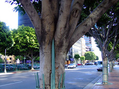 Street trees in Los Angeles. Photo CC licensed by Pieter Edelman.