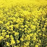 field of yellow thumbnail