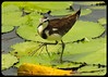 winter-feathered Jacana (BorisWorkshop) Tags: taiwan jacana supershot thegalaxy specanimal 10nw 100commentgroup coth5 5wonderwall bestofblinkwinners allofnatureswildlifelevel1 allofnatureswildlifelevel2 allofnatureswildlifelevel3 allofnatureswildlifelevel4 allofnatureswildlifelevel5 allofnatureswildlifelevel8 allofnatureswildlifelevel6 allofnatureswildlifelevel7 allofnatureswildlifelevel9