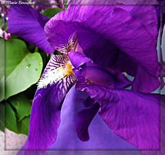Coeur d'iris (bleumarie (+ de 3 000 000 vues. Merci !)) Tags: iris macro fleur fuji coeur vert pistil mauve roussillon ptale verdure feuille flore vgtation catalogne pyrnesorientales parme vgtal suddelafrance floraison thuir coeurdefleur bleumarie mariebousquet photomariebousquet