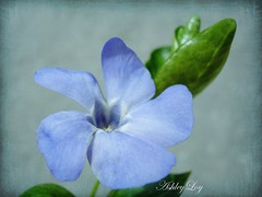 Spring... (Ashley1954) Tags: ngc vinca masterphotos artisticflowers mindigtopponalwaysontop