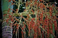 Palm seeds (Deb Jones1) Tags: park red flower macro nature beauty canon garden botanical outdoors flora palm seeds flickrduel flickrawards debjones1