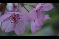 untitled (inu9_) Tags: pink flower japan cherry blossoms