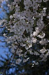 IMGP6857 (Amad) Tags: flower japan spring   sakura kiryu