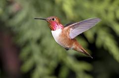 Rufus Hummingbird (Selasphorus rufus) Male In Hover (Tom in Tacoma) Tags: bird birds canon hummingbird rufus sensational birdwatcher selasphorusrufus canon7d specialshotswelltaken