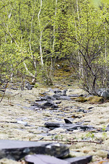 Slate River (FollowYourDreams2012) Tags: silver birch slate llanberris