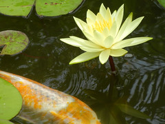 Flower and Fish (Pandora-no-hako) Tags: park fish flower reflection green water animal yellow asian waterlily lily conservatory koi lilypad waterlilly