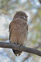 ADS_000051041 (dickysingh) Tags: portrait india tree bird nature branch wildlife owl birdofprey ranthambore ind ranthambhorenationalpark brownfishowl ketupazeylonensis bigowl bubozeylonensis wwwranthambhorecom