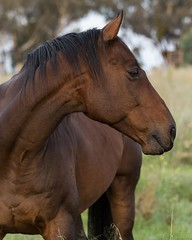I think this is my best side (ajspaldo) Tags: horse nature canberra act ajs tonyspalding ajspaldo ajspalto